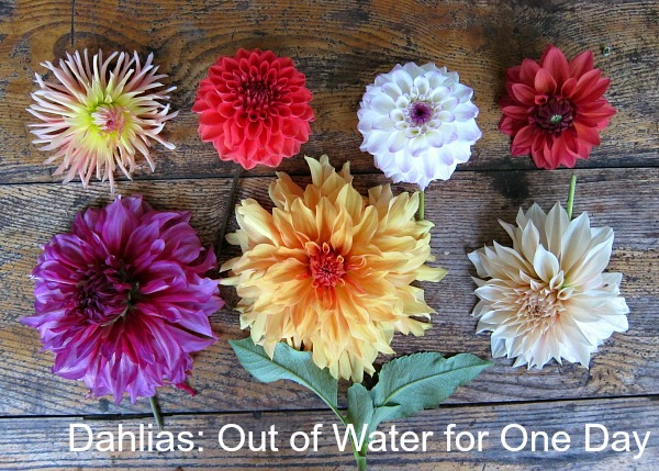 dahlias-out-of-water-for-one-day