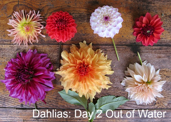 Dahlias without water day 2