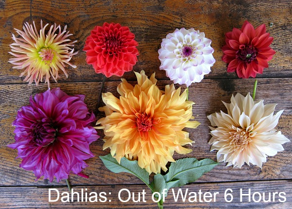 dahlias-without-water-six-hours