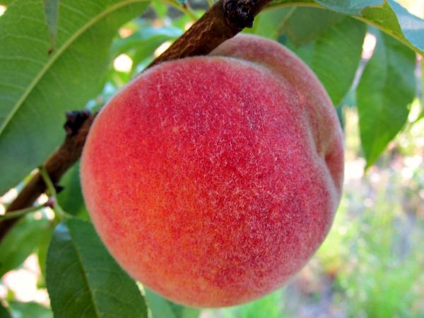 growing peaches tree nanaimo peach