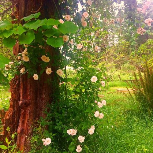 madrona roses