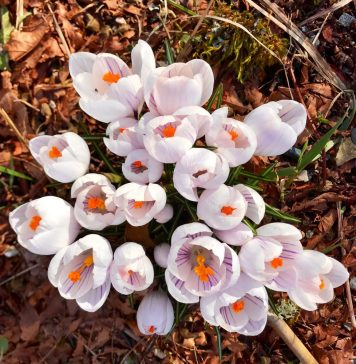 blooming crocus
