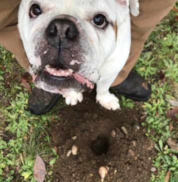 buddy the bulldog garden helper