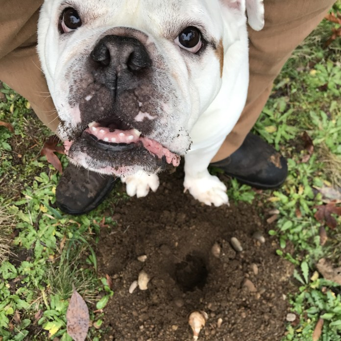 buddy the bulldog garden helper