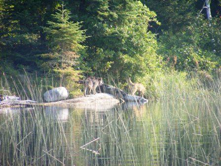 Two wolves were in hot pursuit.