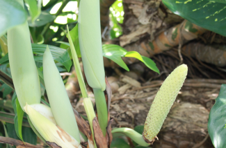 Monstera flowers & fruit