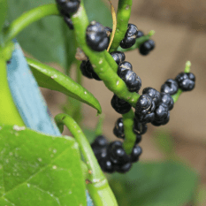 Fruits on my Malabar spinach