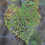 Lacy leafy heart