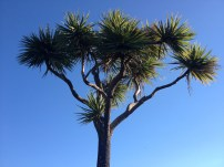Cabbage tree