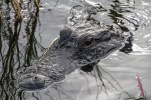 Alligator, Florida Everglades