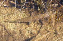 Alligator gar fish, I think
