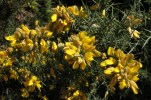 Gorse bushes - best left well alone unless you're a goat
