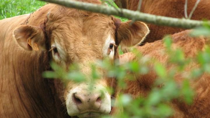 La vache électrique sauvera-t-elle la planète ?