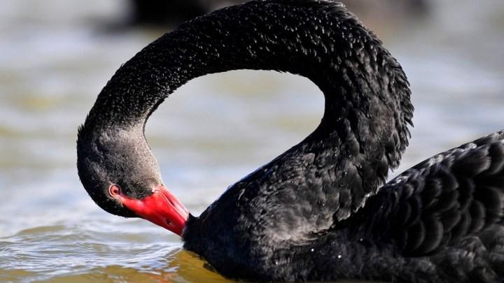 Le cygne noir, lecture libre du livre de Nassim Nicholas Taleb