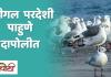 Seagull Birds in Dapoli