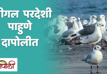 Seagull Birds in Dapoli