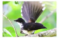 4-Pied Fantail