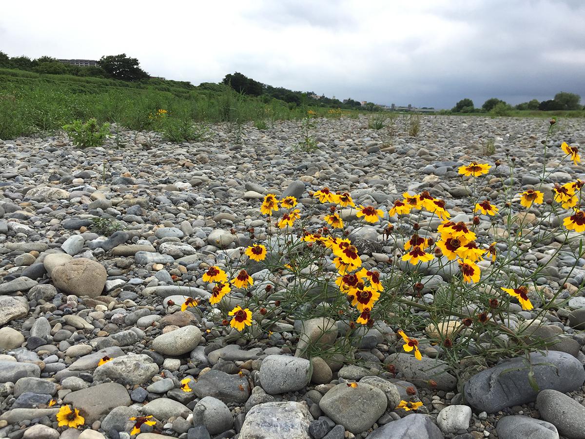 河原に咲いていた黄色い花の正体
