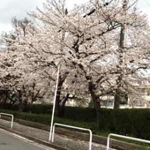 H.28 年4月4日橋波小学校の桜
