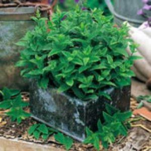 mint-spearmint-mint-seeds-herb-seeds