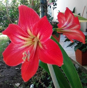 amaryllis red strip white