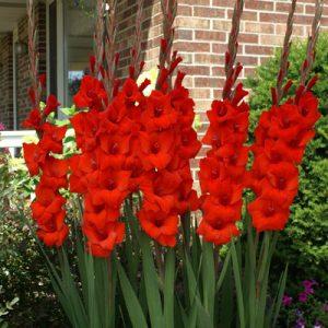 gladiol merah2