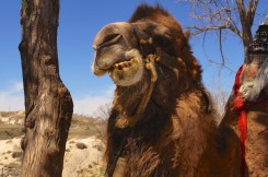 Tams' friend the Bactrian Camel