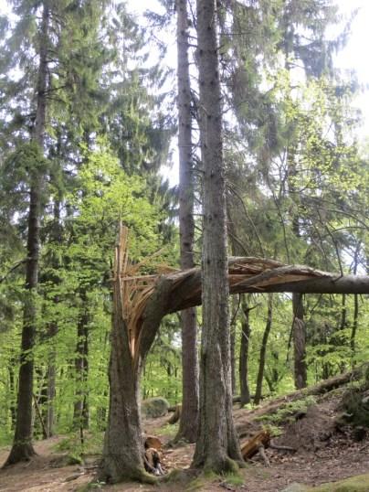 Interesting spiral break in this pine tree