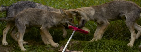 They play with anything they can get their mouths on