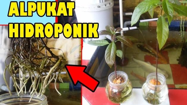 Mudahnya Budidaya Alpukat dalam Pot Taman Inspirasi SAFA