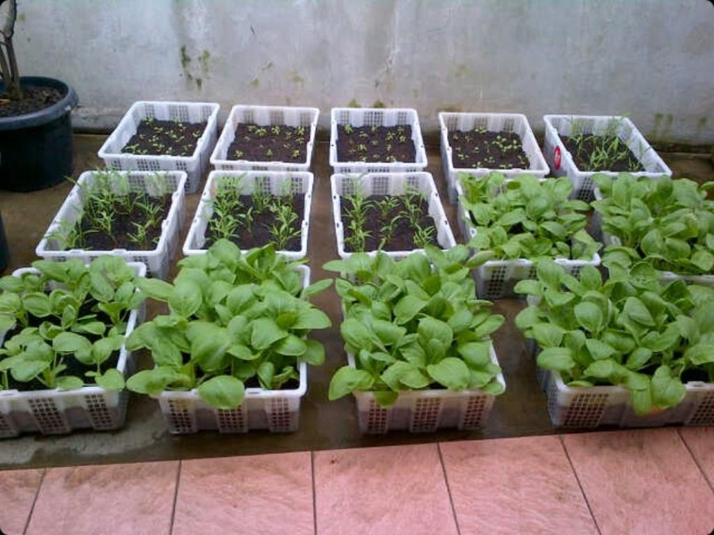 Aplikasi pupuk organik cair untuk tanaman sayur