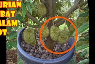 Durian Lebat dalam Pot
