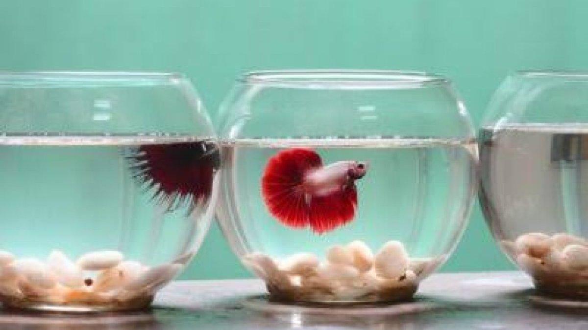 Budidaya Ikan Cupang dalam Toples
