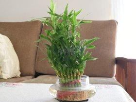 Tanaman Hias bambu air untuk Indoor