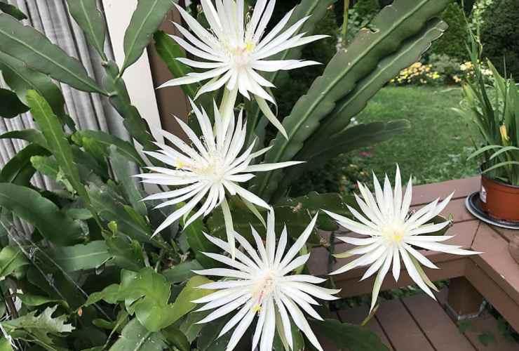 bunga wijaya kusuma mitos dan khasiat