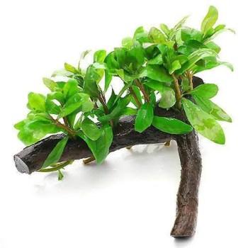 ハイグロフィラ付き流木