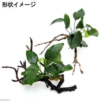 アヌビアス枝流木
