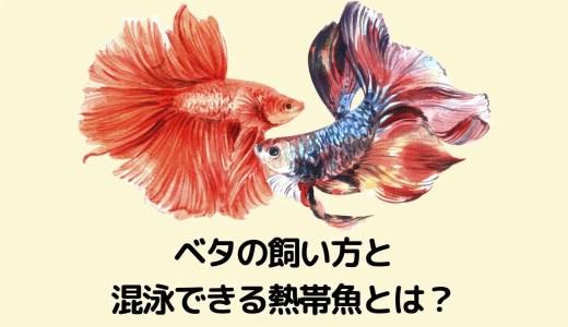 【初心者向け!】ベタの飼い方と混泳できる熱帯魚は?(水槽の大きさなども解説!)