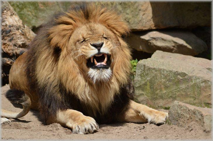 ライオン まったり