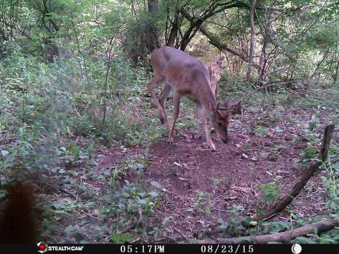 Trail Camera Photos, from Dennis Puls, Frackville, 9-16-2015 (1)