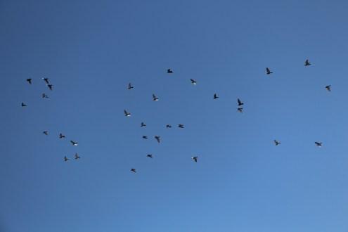Flock of Birds Over Tamaqua, 11-25-2015 (53)