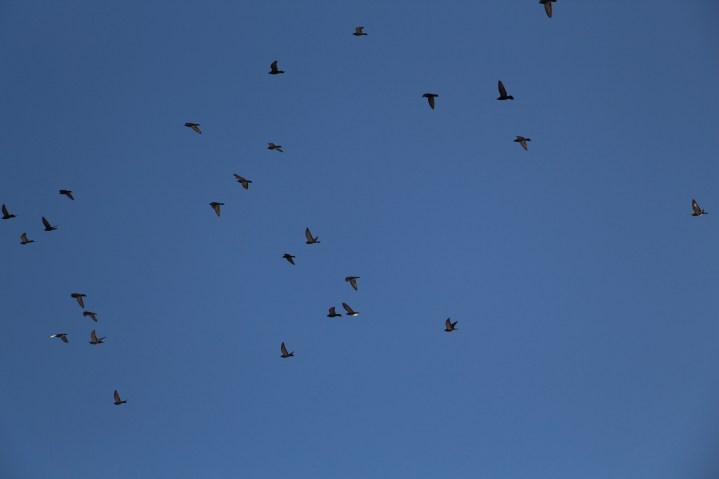 Flock of Birds Over Tamaqua, 11-25-2015 (54)