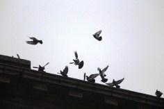 circling-pigeons-west-broad-street-tamaqua-2-8-2017-35