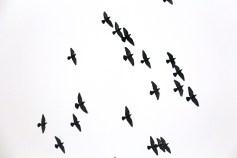 circling-pigeons-west-broad-street-tamaqua-2-8-2017-85