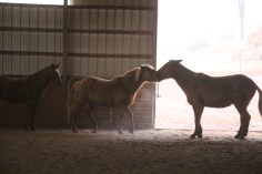 horses-at-horses-and-horizons-therapeutic-learning-center-west-penn-1-21-2017-64