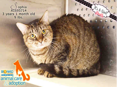 SOPHIA - ID#A1695714 I am a spayed female, brown and tabby Domestic Shorthair. The shelter staff think I am about 3 years old. I have been at the shelter since Sep 10, 2014.