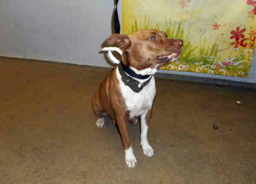 LADY - ID#A1717192 I am an unaltered female, tan and white American Staffordshire Terrier. The shelter staff think I am about 1 years and 0 months old. I have been at the shelter since Nov 25, 2014.