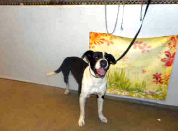 KANE - ID#A1717194 I am an unaltered male, black and white American Staffordshire Terrier. The shelter staff think I am about 2 years and 0 months old. I have been at the shelter since Nov 25, 2014.