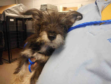 A1717569 I am an unaltered male, blk/tan Schnauzer - Miniature. My age is unknown. I have been at the shelter since Nov 29, 2014.