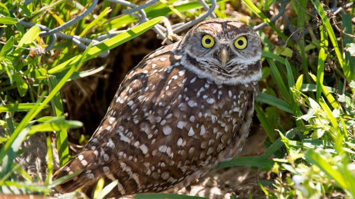 Burrowing Owls at the Sport Complex in Tamarac - Photo by Adam Baron